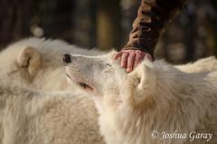 - Streicheleinheiten - (Joshua Garay) Tags: nature animals zoo tiere wolf natur wolves sympathy carnivores hanau wildpark canislupus zuneigung raubtiere polarwolf wlfe sugetiere arcticwolf polarwlfe altefasaneriekleinauheim