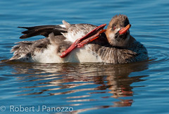 Could You Repeat That (ChicagoBob46) Tags: bird sanibel sanibelisland autofocus merganser redbreastedmerganser jndingdarlingnwr thenaturesgreenpeace allnaturesparadise