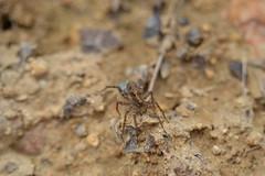 Araña con saco de huevos azul (esta_ahi) Tags: araña aranya spider saco huevos azul arachnida fauna joaquim cantallops penedès barcelona spain españa испания arañalobo lycosidae