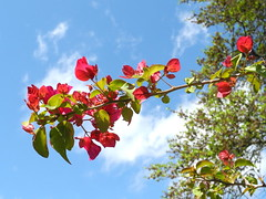 The bougainvillea is beginning to bloom (pawightm (Patricia)) Tags: austin texas inmygarden centraltexas bougainvilleabarbarakarst pawightm earlyaprilblooms bougainvilleaagainstbluesky rscn7184