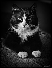 My Tiger (Behzad No) Tags: bw love animal cat fun happy tiger mooni blackwhitephotos nikond90 behzadno