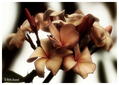 Frangipani plumeria flowers (Nithi clicks) Tags: pink summer wallpaper bali plant flower nature beautiful beauty sign wall hawaii islands spring colorful bright blossom plumeria object ngc culture icon screen romance petal single hawaiian tropical frangipani bloom backdrop botanic agriculture healthcare aloha isolated ethnicity blooming treatment scented fragility exoticism