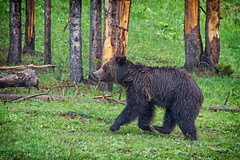 Prancing in the Rain (dbushue) Tags: bear wild rain nikon wildlife young yellowstonenationalpark wyoming grizzly 2012 ynp specanimal dailynaturetnc13 photoofthedaynwf13