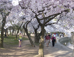 Cherry Blossoms Wed 10 Apr 2013  (167)  Washington DC (smata2) Tags: this you good national cover photograph be pick geographic titlephotosharingimg a i are height48 hrefhttpwwwflickrcomgroups83374492n00 srchttpstaticflickrcom1042978201971b62ce7b44ojpg width129 altnominateda hrefhttpwwwflickrcomgroups83374492n00national enougha