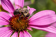 Honeybee (Thomas Gillen Photography) Tags: pink flowers orange newyork flower macro green nature yellow closeup canon insect bokeh longisland bee honeybee facebook oysterbay nassaucounty plantingfieldsarboretum t1i lightroom4 100mmf28lisusmmacrolens thomagillenphotography