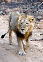 Asiatic lion, Gir Forest, Gujarat (Sekitar) Tags: park india male nature animal forest lion national gujarat gir alam asiatic binatang sasan