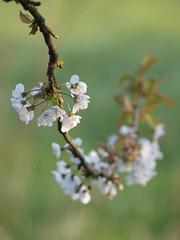 Branche de cerisier **--* (Titole) Tags: green branch fleuri cherrytree cerisier branche shallowdof friendlychallenges thechallengefactory titole favescontestfavored nicolefaton
