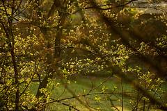 lentegroen (Don Pedro de Carrion de los Condes !) Tags: groen blad tuin lente jong donpedro bladeren versiering lentegroen