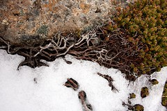 Mt Wellington II (daniel_james) Tags: snow australia alpine tasmania lichen hobart mountwellington