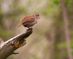 Wren - Stodmarsh (alone68) Tags: nature birds canon wildlife wren stodmarsh