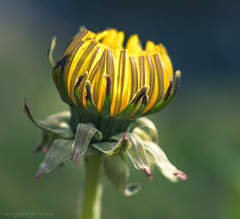 _DSC7869.jpg (Ingeborg Ruyken) Tags: morning macro backyard dandelion sunflower april bud ochtend naturephotography achtertuin knop paardenbloem natuurfotografie 2013 kadootje catflowersandplants