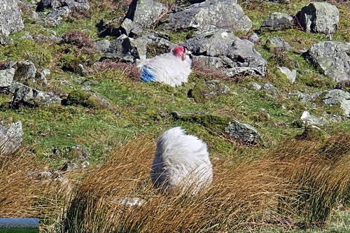 Wild blown sheep