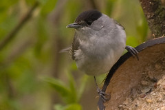 Blackcap 3 (Bassman99) Tags: blackisle gardenbirds scottishwildlife