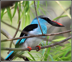 A Blue-Breasted Kingfisher (dralun10) Tags: specanimal naturesharmony mygearandme mygearandmepremium allofnatureswildlifelevel1