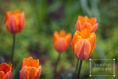 Flower | Tulip (Levi Watson Photography) Tags: flower green garden spring farm etc growing greenthumb