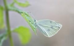 Pieris Rapae (Ignazio Corda) Tags: butterfly papillon farfalla pieris rapae justnature nikond300 beautifulmonsters photobyigcor