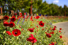 I Love Poppies (Tess Sartin) Tags: 50mm poppies wildflowers fredericksburgtexas