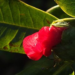 Autumn awakening (Patricia Manhire) Tags: flowers nature outdoors gardening camellias