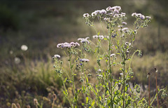 Late Afternoon Light (Elizabeth_211) Tags: flowers light nature daisies 50mm afternoon bokeh niftyfifty
