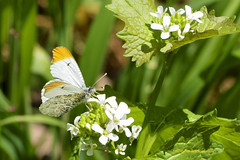 VA: Falcate Orangetip, the tiny white butterfly with a surprise on its wings (donna lynn) Tags: white butterfly virginia spring nikon butterflies va april leps jamesriver midsize pieridae pierinae bmna anthocharis 2013 falcateorangetip anthocharismidea d7100