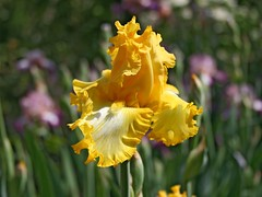 yellow iris (Lyubov) Tags: flowers iris yellow spring fantasticflower