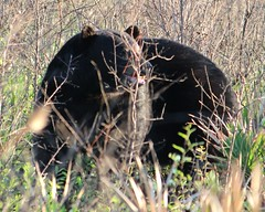 2013 05 04_3549_black bear (nbc_2011) Tags: bear nature animal florida animalplanet blackbear planetearth northwestflorida