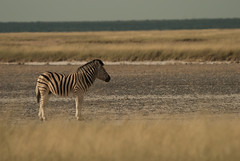 Lookout (Samuel Roth) Tags: africa nature animals wildlife zebra namibia etosha etoshanationalpark