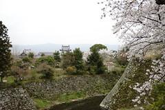 (ddsnet) Tags: travel plant flower japan sony 99  cherryblossom  sakura nippon  kansai  nihon hanami  slt backpackers  flower            naraken cherry blossom japan     flowerinjapan singlelenstranslucent 99v