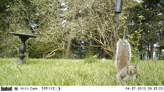 Gray Squirrel (artlessfun) Tags: kalama graysquirrel artlessfun cowlitzcountywa trailcamphotos