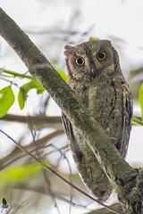 Assiolo (_milo_) Tags: italy bird canon eos italia tamron oiseau uccello oasi 70300 angera rapace otusscops assiolo 60d bruschera