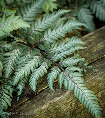 Japanese Painted Fern (Rick Smotherman) Tags: wood flowers stpeters nature leaves canon garden outdoors morninglight spring backyard may overcast 7d cloudysky canon7d canon100mmf28l