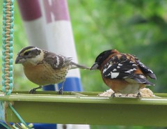 Black-headed Grosbeak (male & female) (tlhowes2012) Tags: backyardbirds