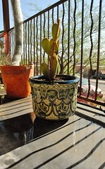 20130523 New Bunny Ears Cactus and Talavera Pot (lasertrimman) Tags: new cactus bunny ears pot pear talavera prickly talavara 20130523