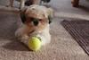 Rocky (A Great Capture) Tags: dog playing ball puppy carpet play rocky tennis doggy pup shitsu ald ash2276 ashleyduffus nannysdog