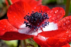 Red Anemone.  Anmona Roja. (Paul F Gannon) Tags: supershot naturesharmony sunrays5 creativephotocafe flowerthequietbeauty