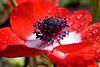 Red Anemone.  Anémona Roja. (Paul F Gannon) Tags: supershot naturesharmony sunrays5 creativephotocafe flowerthequietbeauty