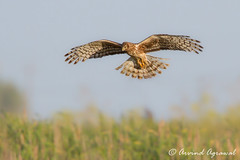 Northern Harrier - IMG_6242 (arvind agrawal) Tags: