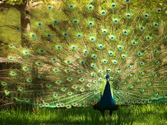 Peacock with Open Tail (Wilson Hui) Tags: peacock calgaryzoo tailfeathers peacocktail openpeacocktail
