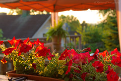 Retirement - Day 308 (David Bowery) Tags: flowers flower sunrise sunrises petunias 365project