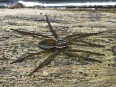 Six-Spotted Fishing Spider - Dolomedes triton (midimatt) Tags: wisconsin spider wi newburg sixspottedfishingspider dolomedestriton fishingspider riveredgenaturecenter mattdrollinger matthewdrollinger