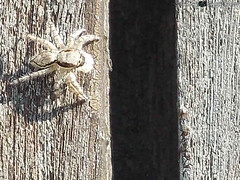 Papa-Moscas (PaulaAndy) Tags: insects mosca insetos papamoscas varejeira