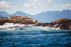 Sea lions (Cyrielle Beaubois) Tags: 2016 bc britishcolumbia canoneos5dmarkii cyriellebeaubois tofino ucluelet vancouver travel island canada water sea ocean wave outdoor lions sealions mountains rocks animal wildlife marine life landscape