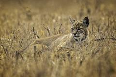Bob Kitty in the Grass (lennycarl08) Tags: bobcat wildcat pointreyesnationalseashore ptreyes animalplanet marincounty california northerncalifornia goldengatenationalrecreationarea