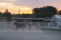 Breaking in the Colt (aaronrhawkins) Tags: horse train break training breaking colt provo utah arabian ring dust run circle sunset barn fence rope evening twilight girl aaronhawkins
