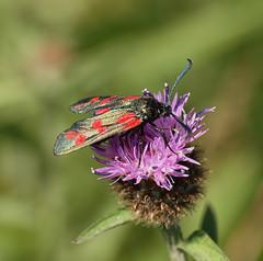 2016_07_0545 (petermit2) Tags: sixspotburnetmoth sixspotburnet burnetmoth burnet moth finningley doncaster southyorkshire yorkshire
