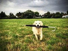Henry and the umbrella (ptydus) Tags: goldenretriever henrydogstillsportrait nature landscape hund natur dramatik regen haustier beste freunde big buddy