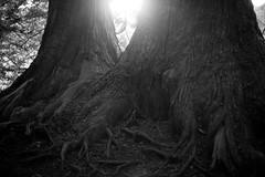 Roots (Yuta Ohashi LTX) Tags: roots plant    tree nikon  d750 58mm f14 voigtlander nokton    fixed focal 5814 sl primelens