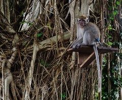 camouflaged (SM Tham) Tags: asia indonesia bali karangasem amlapura tamanujong waterpalace watergardens ficus banyan tree pet monkey animal tail camouflage outdoors