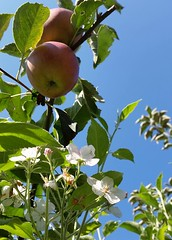 Reife pfel und Apfelblte ?! (alpenbild.de) Tags: apfel pfel apple blossom blte apfelblte neckarsteinach