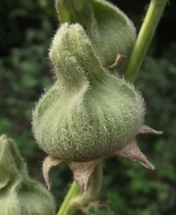 Alcea rosea (Hollyhock) calyx, Wandlebury Country Park, Cambs, 23.8.16 (respect_all_plants) Tags: hollyhock alcearosea wandlebury countrypark cambridge cambs cambridgeshire wildflowers